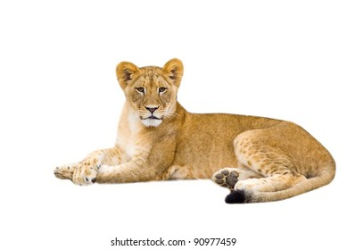Lion cub - isolated on white background