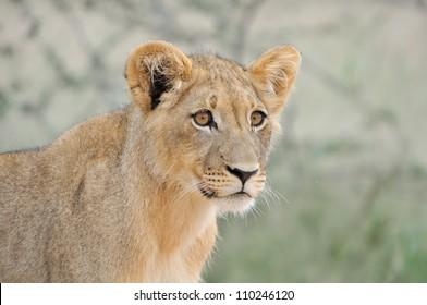 A lion cub, Kgalagadi Transfrontier Park.