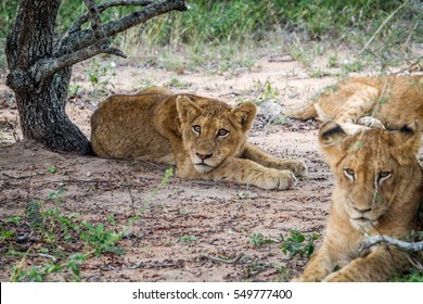 Lion cub laying in the sand in the Kruger National Park, South Africa.