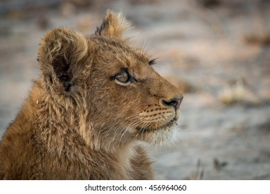 A Lion cub looking up in the Kruger National Park, South Africa.