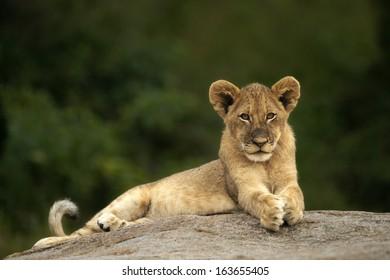Lion Cub Lookout