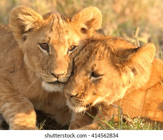 Lion Cub Love (Panthera leo)