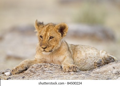 Lion cub lying alone between rocks; Etosha; Panthera leo
