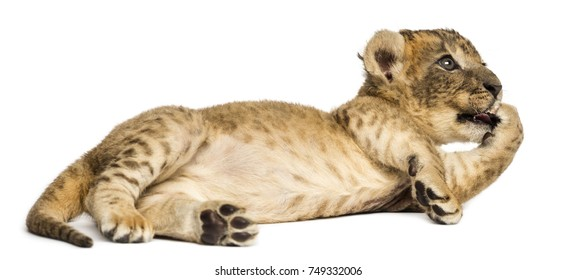 Lion cub lying down, licking its pad, 4 weeks old, isolated on white
