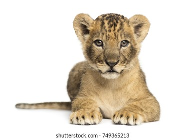 Lion cub lying, looking at the camera, 7 weeks old, isolated on white