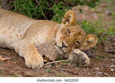 A lion cub lying on the ground holding a tortoise between its paws