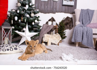 Lion Cub Lying On The Rug Close To Arm Chair In A Room Decorated For  Christmas
