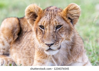 Lion Cub lying and resting in the savannah