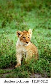 Lion cub, Masaai Mara Game Reserve, Kenya