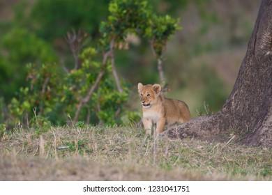 Lion cub in Masai Mara Game Reserve, Kenya