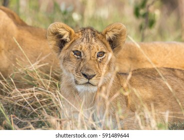 A lion cub muzzle from close up