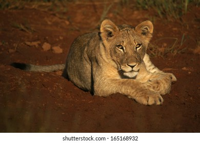 Lion cub on red soil