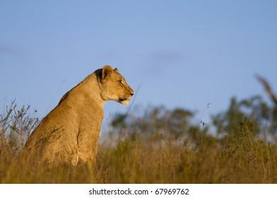 Lion cub overlooking grassland