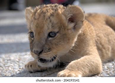 Lion cub (panthera leo) lying down focusing on a prey