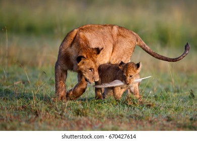 Lion cub playing with his young brother in Masai Mara Kenya