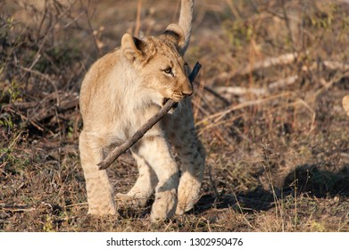 A lion cub playing with stick in Kruger National Park, South Africa