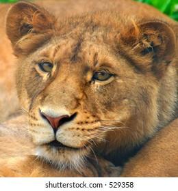 Lion Cub, portrait, staring into camera