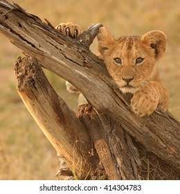 Lion Cub Pose (Panthera leo)