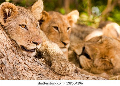 Lion cub with pride