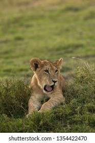 Lion cub relaxing on the grasses, Masai Mara