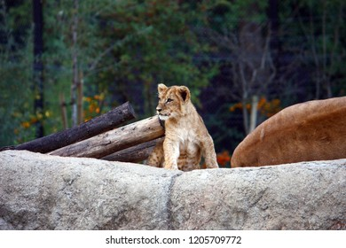 Lion cub resting on the big stone