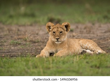 Lion cub resting on green grass at Masai Mara, Kenya