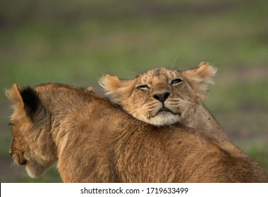A Lion cub resting on others back at Masai Mara, Kenya