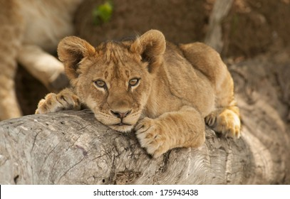 Lion Cub Resting on Tree Branch