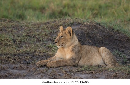 Lion cub resting in a savannah in Masai Mara Game Reserve, Kenya.