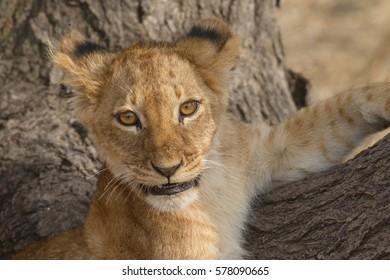 Lion cub, Serengeti National Park, Tanzania.