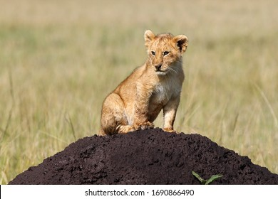 a lion cub sits alone well camouflaged on a dark brown mud hill and looks attentively into the surroundings
