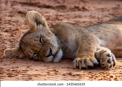 Lion cub sleeping on red kalahari sand in the Kgalagadi Transfrontier Park