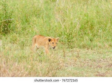 "Lion cub sneaking up on itd mother (scientific name: Panthera leo, or ""Simba"" in Swaheli)  in the Serengeti National park, Tanzania"