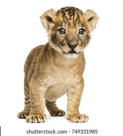 Lion cub standing, 4 weeks old, isolated on white