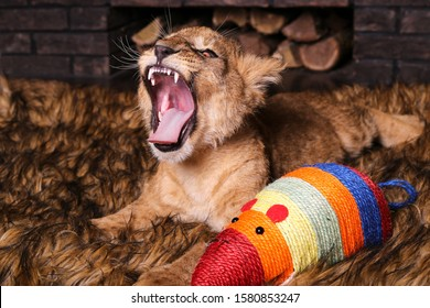 Lion cub with a toy mouse. Little lion.The growling lion cub. The lion growls.
