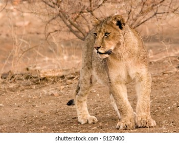 Lion cub in Tuli Block in Botswana