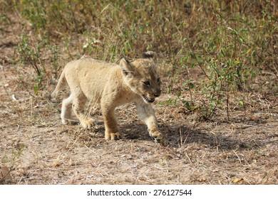 Lion cub walking in the bush