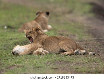 A  Lion cub yawning at Masai Mara grassland, Kenya