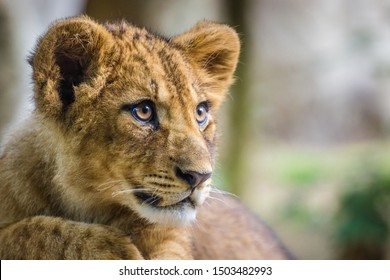 Lion cub from the zoo