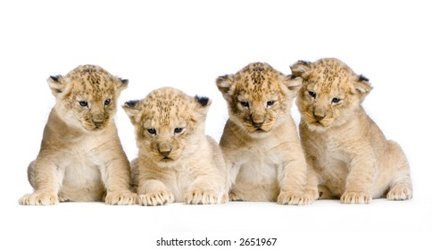 Lion Cubs  (3 weeks) in front of a white background. All my pictures are taken in a photo studio.