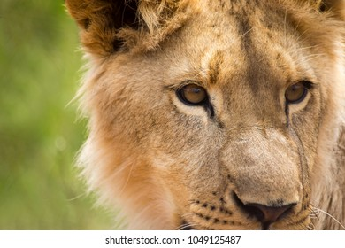 Lion cubs in Africa.  Portraits of lions.