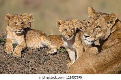 Lion cubs (babys) and Mama in Africa
