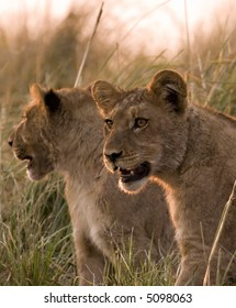 Lion cubs in Chobe Game Reserve in Botswana