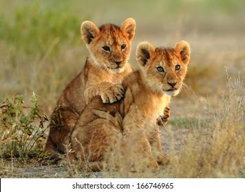 lion cubs cuddling