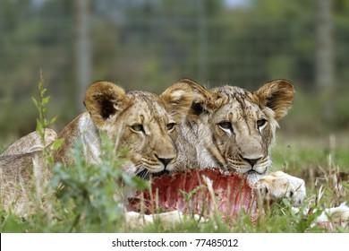 Lion cubs eating prey
