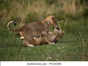 Lion cubs enganged in playing, Masai Mara