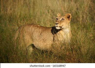 Lion cubs in grass