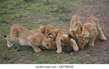 Lion  cubs leap on a tourists dropped bean bag