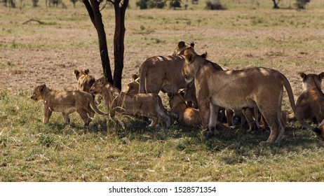 Lion cubs and lioness getting ready to move on for a walk