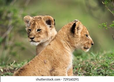 Lion cubs, Masai Mara